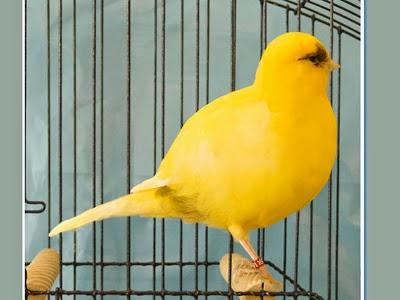 Foto Burung Kenari Border Terbaik