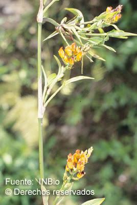 Elleanthus aurantiacus y su relacion con las aves en peligro