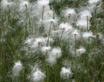 Eriophorum angustifolium:
