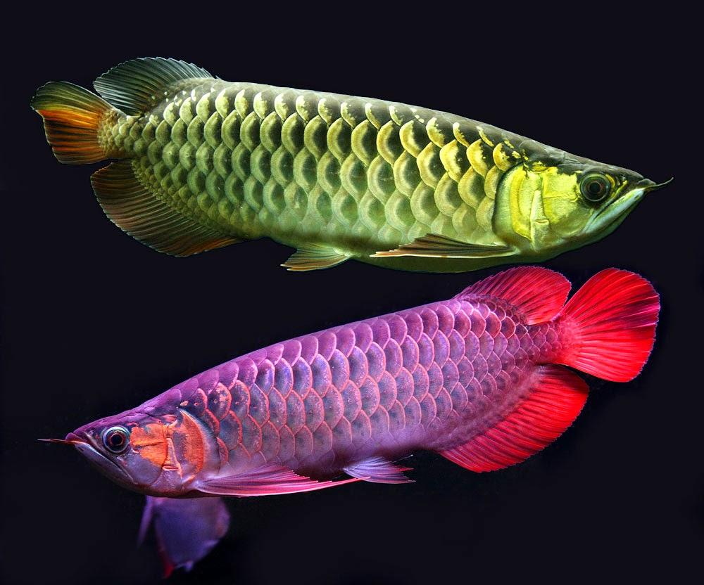 arowana fish hd wallpapers