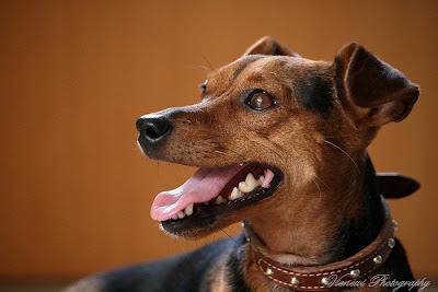 Pies z psiej perspektywy, z poziomu jego oczu, portret psa, kompozycja