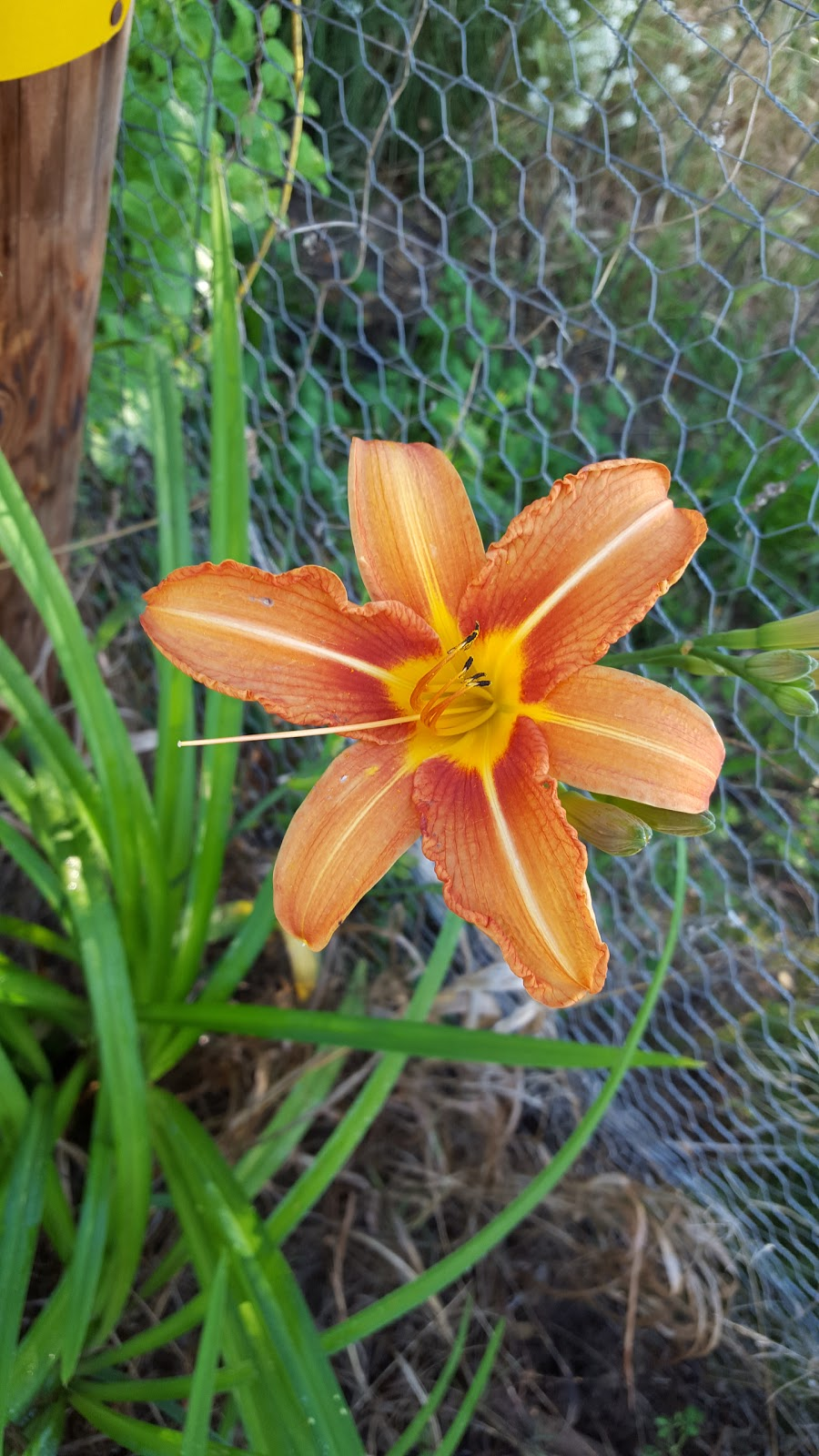 Medicinal and edible plants the edible daylily the daylily hemerocallis fulva seems to only be appreciated for its beauty these days but it also has another use nearly all parts of the daylily are izmirmasajfo