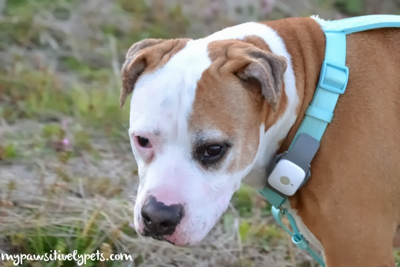 Tagg Gps Pet Tracker for Dogs