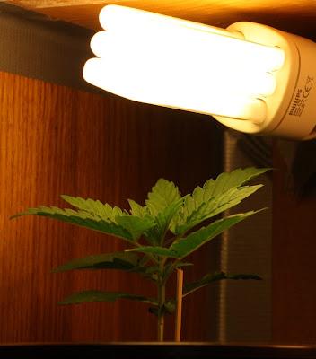 Beleuchtung deiner Indoor Cannabis Zucht