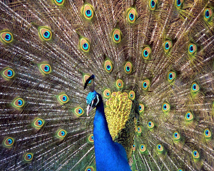 foto burung merak - gambar hewan