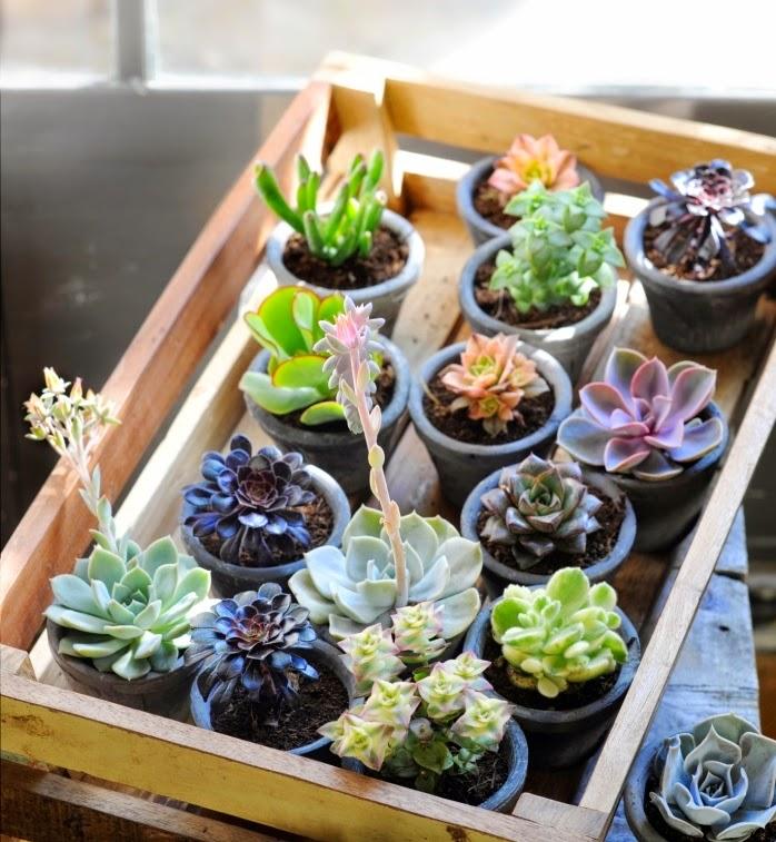 Cactus y suculentas supervivientes natas for Cactus y suculentas