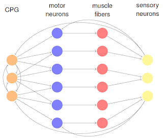 Example of a motor network, in which motor neurons are not part of the central pattern generating network