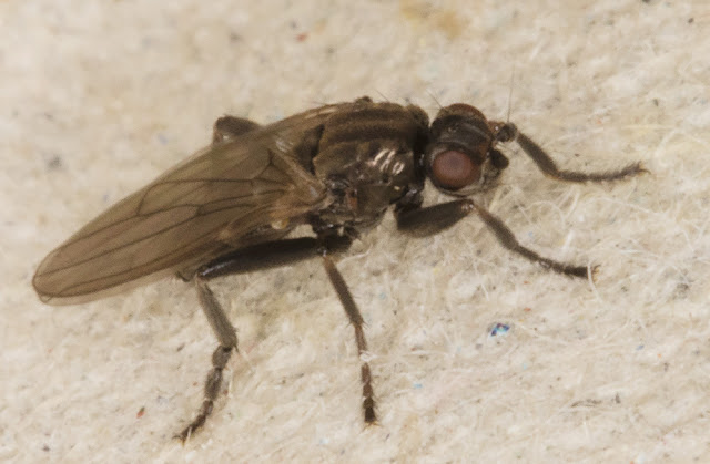 Lesser Dung Fly, family Sphaeroceridae, in the light trap at Sevenoaks Wildlife Reserve, 24 December 2015