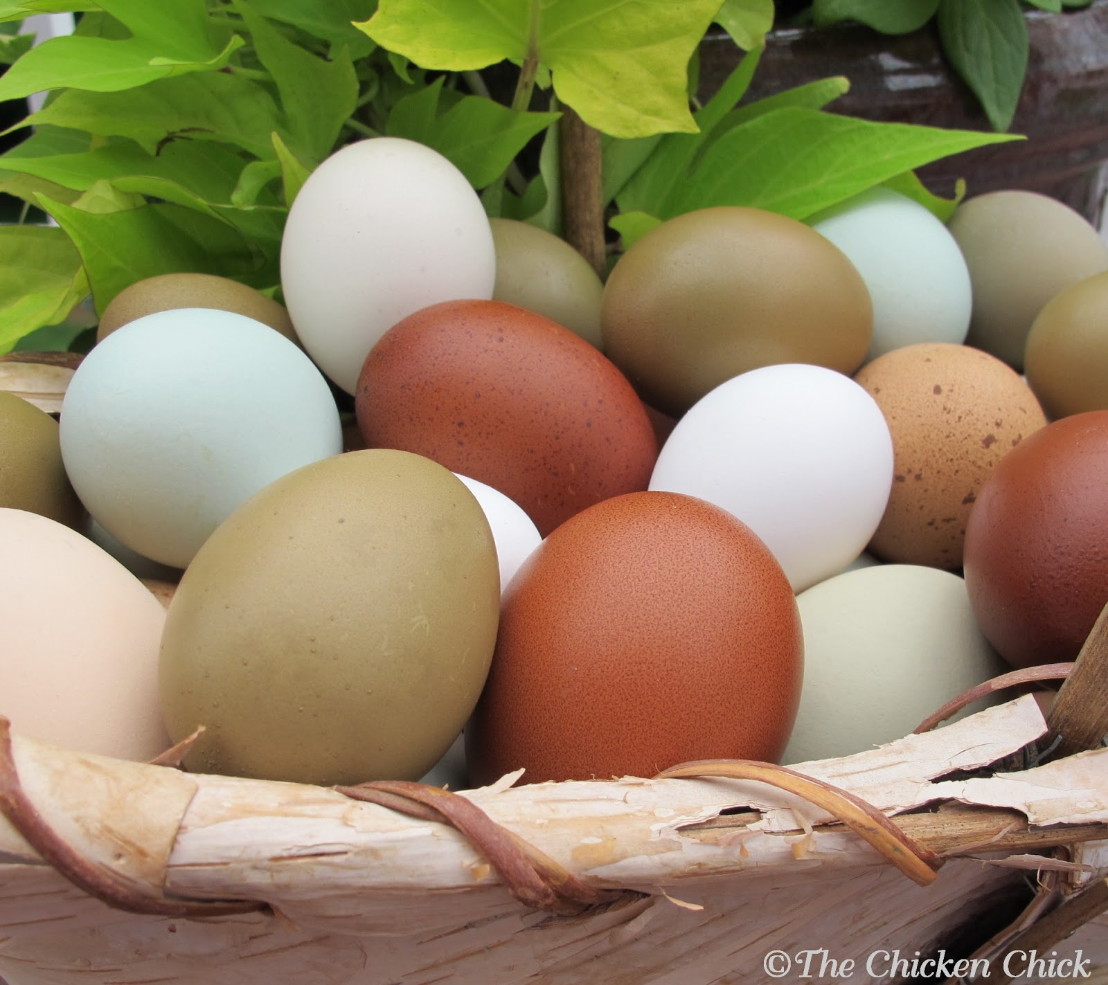 Chickens For Eggs In Backyard The Chicken Chick 174 8 Tips For Clean Eggs From Backyard