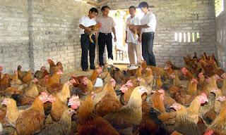 Lợi nhuận ngành chăn nuôi hầu ít thuộc về người nông dân.