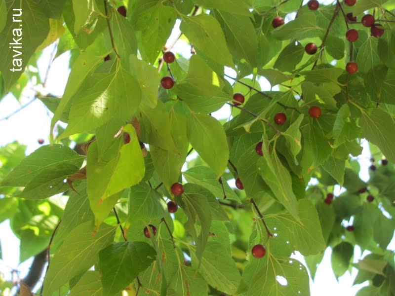 плоды каркаса южного