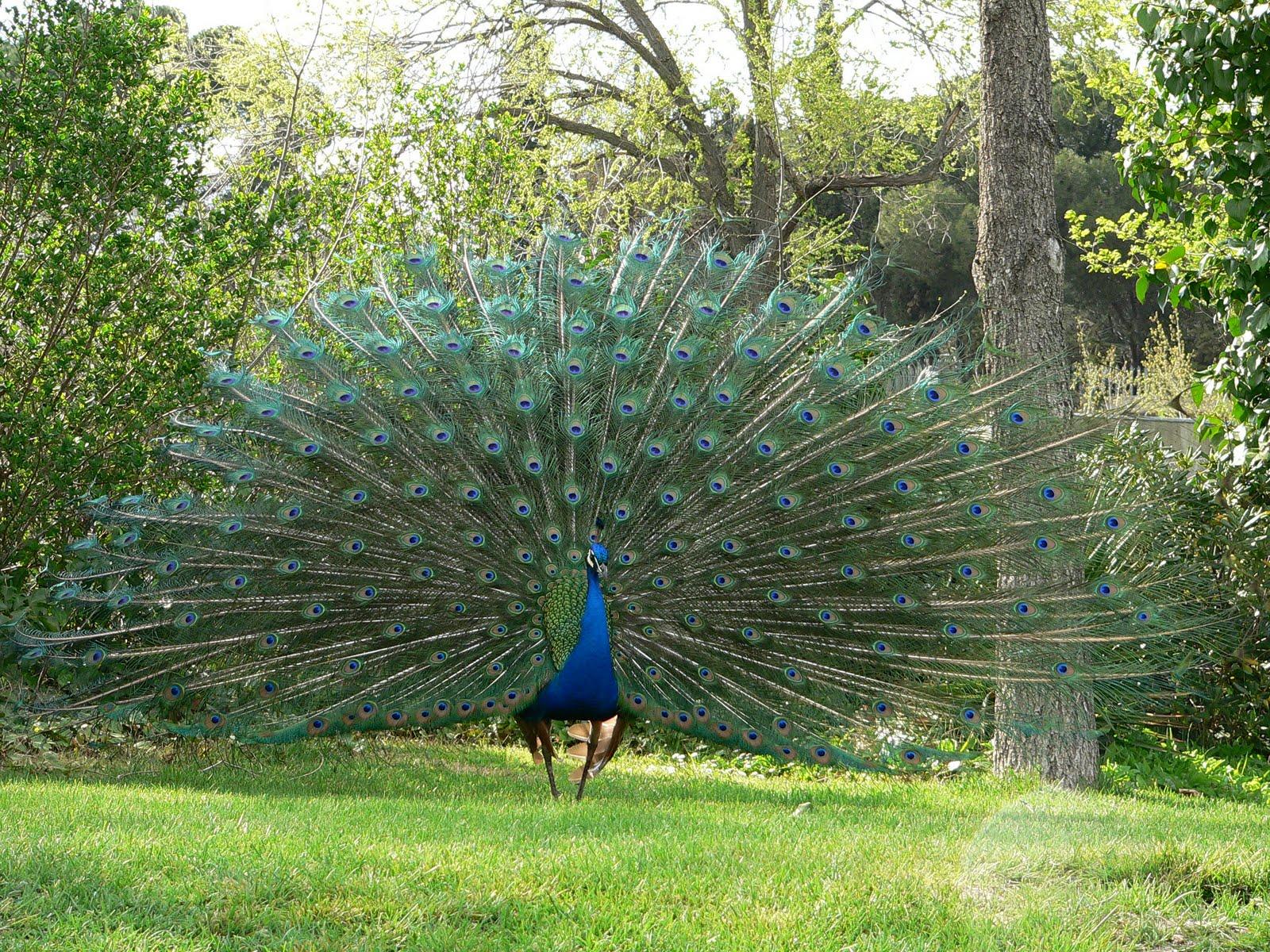 Im genes del mundo animal pavo real - Fotos de un pavo real ...