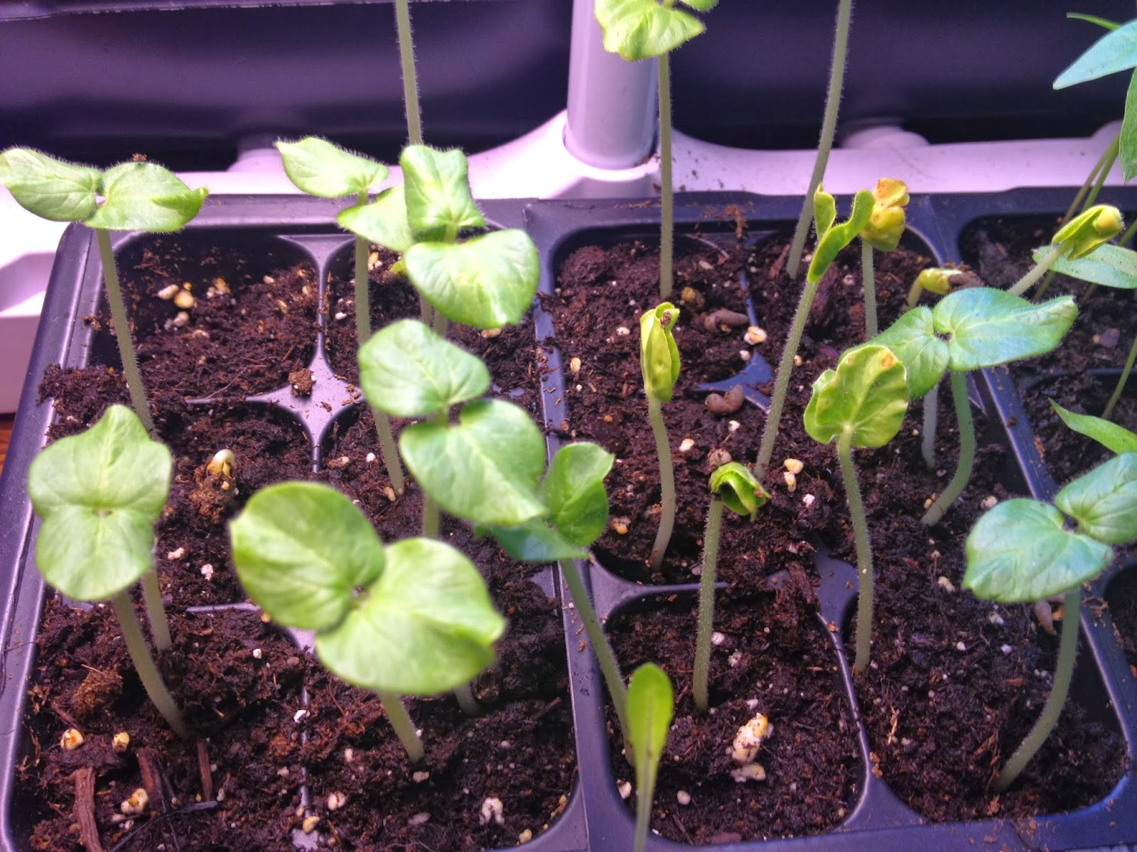 how to grow okra in uganda