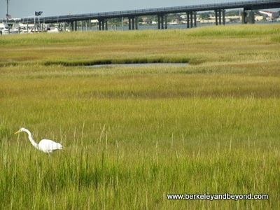 egret spotted on Skimmer Salt Marsh Safari in Cape May, New Jersey