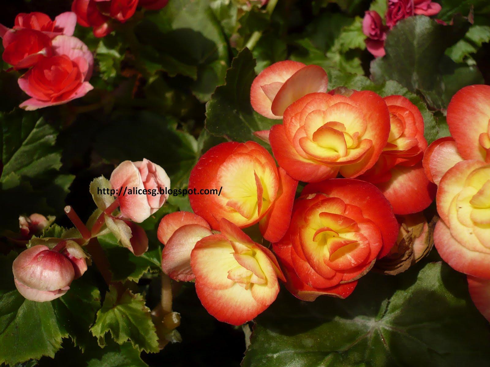 alicesgsingaporemyhome sentosa flower show   beautiful flowers, Beautiful flower