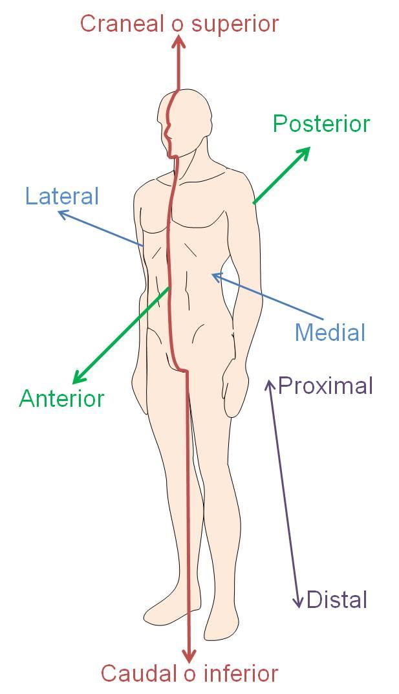 Desde las gavetas de mi escritorio: Referencias anatómicas para ...