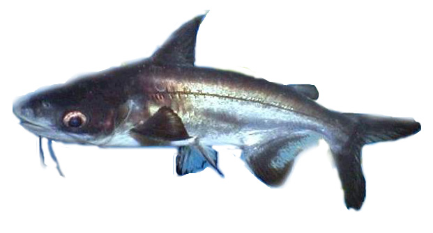 juga disebut ikan patin atau jambal adalah jenis ikan yang bermain di