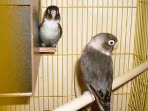 love bird pasangan hitam jodoh