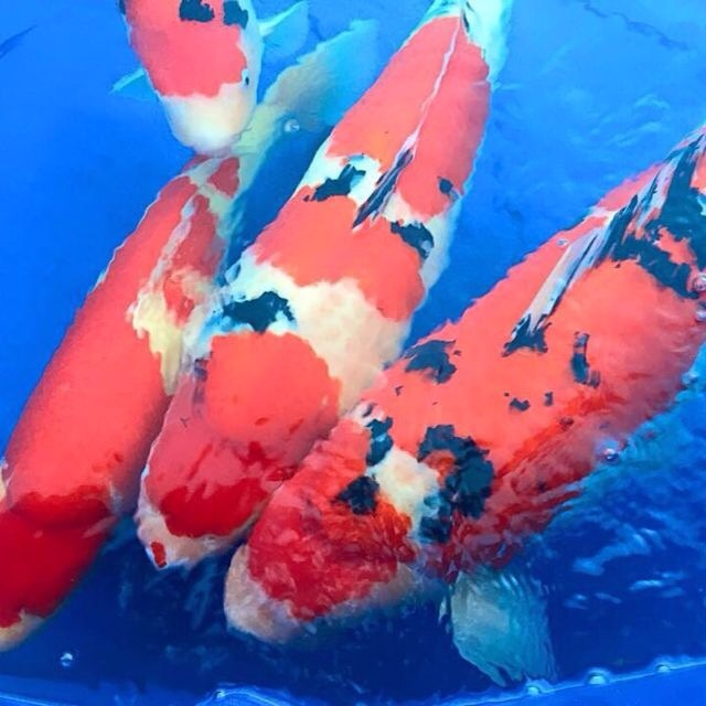Koi shows 2015 koi show results for Koi fish farm