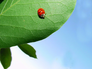 Lady Bug Wallpaper