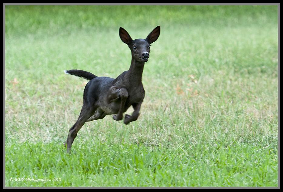 Melanistic Whitetail Deer Marian's Hu...