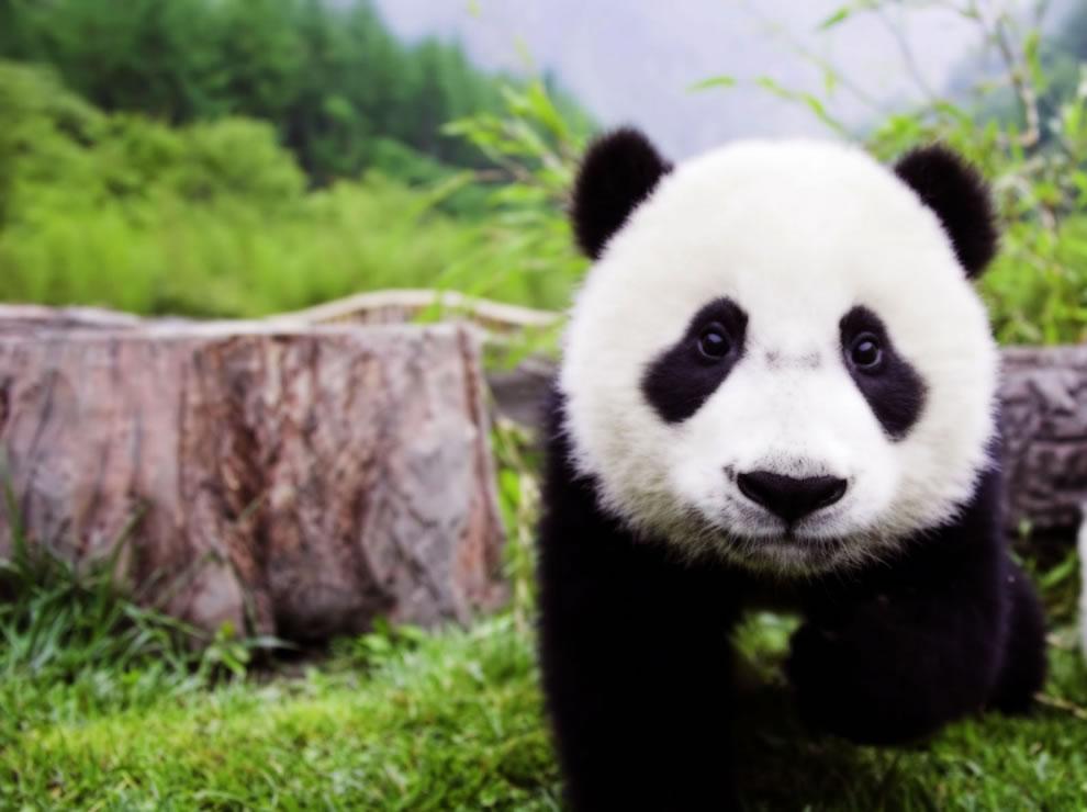 seaux de mignon les pandas dans les sanctuaires grand panda du sichuan 41 photos. Black Bedroom Furniture Sets. Home Design Ideas