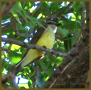 Western Kingbird - photo by Shelley Banks
