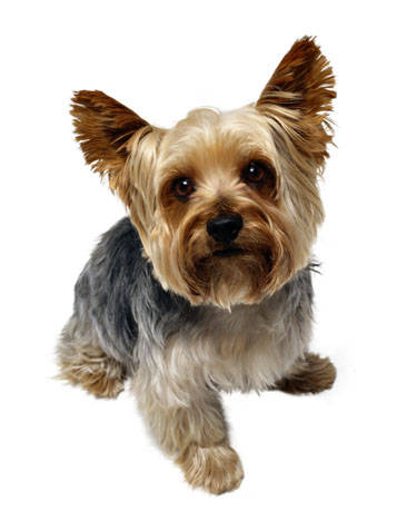 "The ""personality cut"" on a Yorkie with a long tail. #4 blade used on ..."