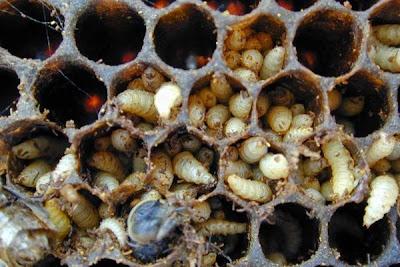 http://2.bp.blogspot.com/-gzEVQmj_Sys/VBRRsfCRYaI/AAAAAAAACb8/UCzI-5FwZYU/s1600/small-hive-beetle-larvae1.jpg