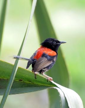 Red backed Fairy-Wren male 033
