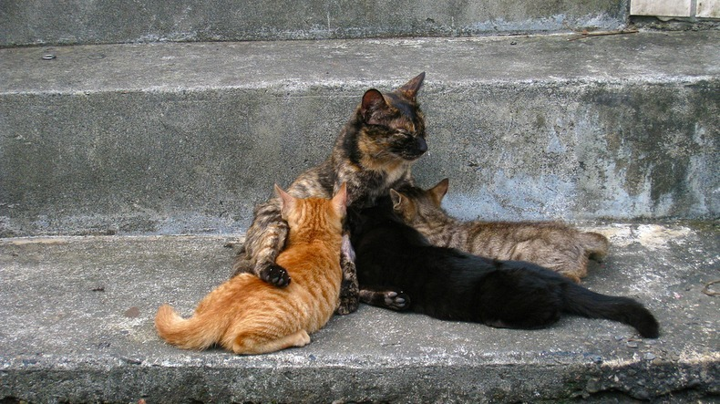 Image result for kucing terbiar