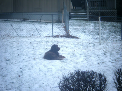 Alfie lying in the snow, surveying his little domain