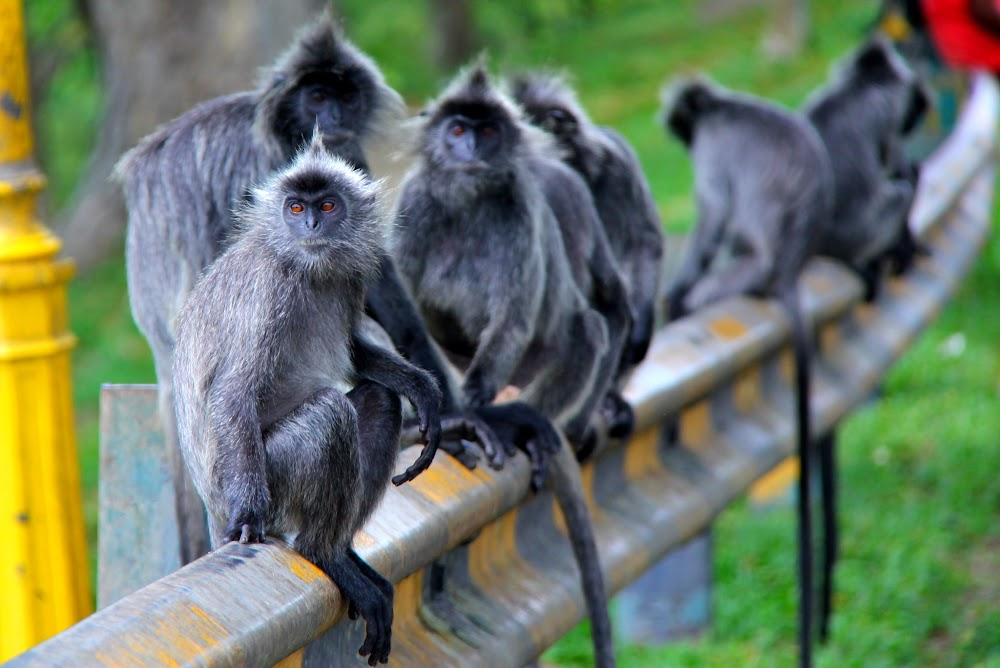 Monyet kiut