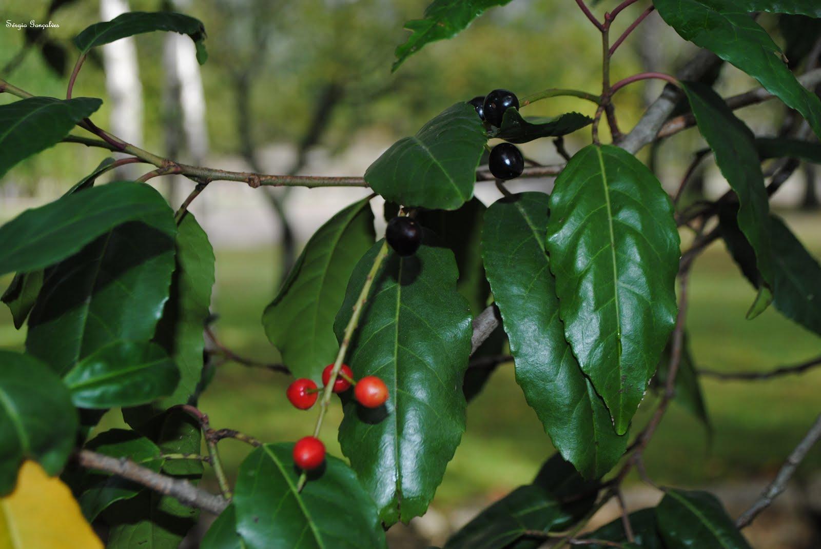 Prunus lusitanica - Azereiro
