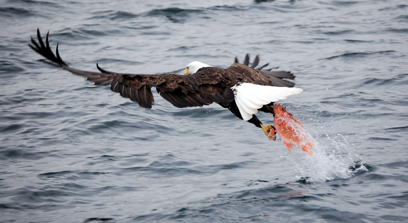 The Eagle S Nest Bald Eagle