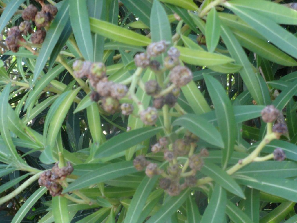 Xtremehorticulture Of The Desert Woody Warts On Oleander Is Gall