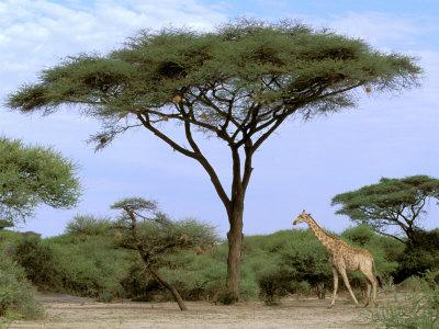 acacia+tree.jpg