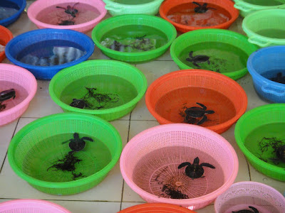 Baby Turtles in Tanjong Benoa Bali