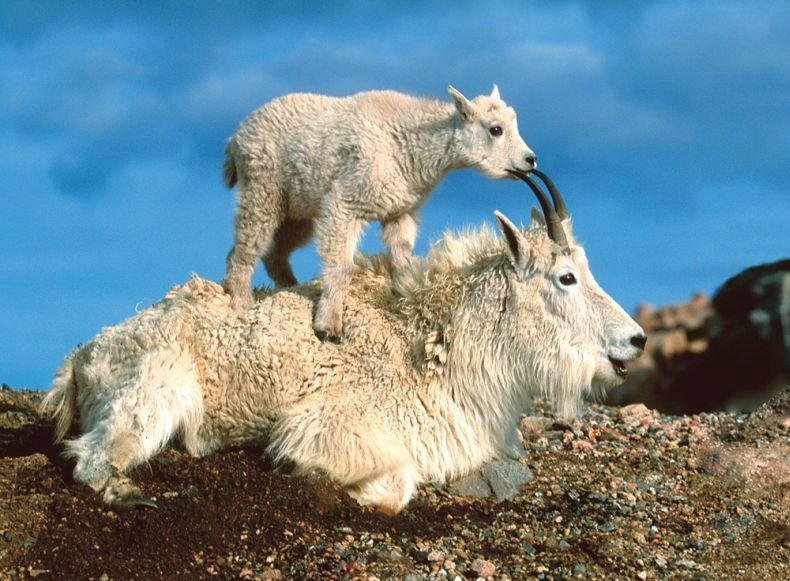 Mountain animals pictures - photo#9