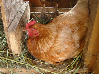 busy+henhouse Chickens   Wordless Wednesday