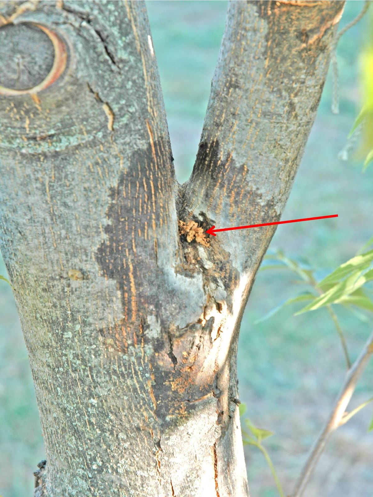 Tree Borer Insects  How To Identify Tree Borers