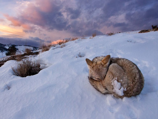 funny animals, animal pictures, fox in snow