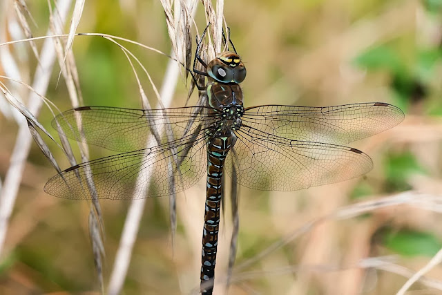 Female Migrant Hawker (Aeshna mixta), Photographed Linford Wood, Milton Keynes, 2012