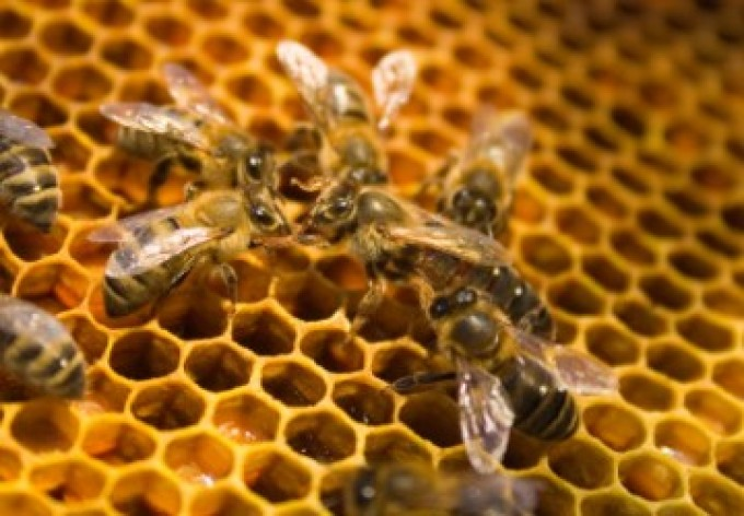 Albine fagure