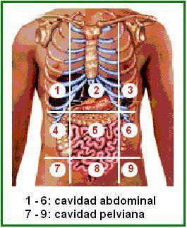 divisiones de las cavidades abdominal y pelviana