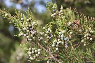 "photo of ""juniper"" berries turning blue"
