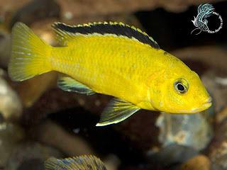 Hình ảnh cá ali vàng