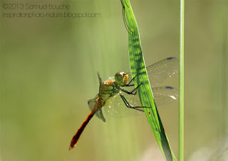 photo macro libellule orange lumière douce macro profondeur de champ insecte qui danse