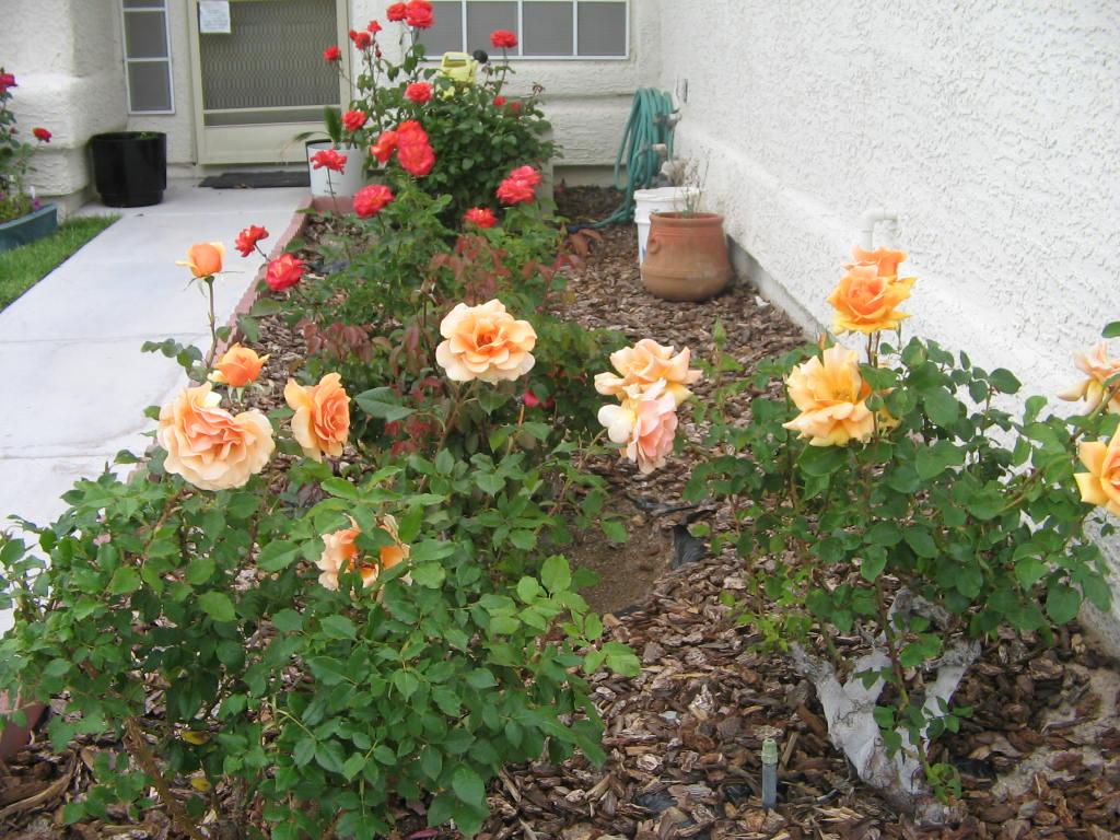 xtremehorticulture of the desert basic rose primer for the desert