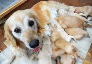 Chó mẹ nuôi nhiều con dễ bị tụt canci huyết.